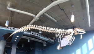 A complete female killer whale skeleton suspended above the gift shop.