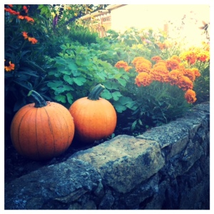 """Our first pumpkin harvest of 2014! Our vegetable garden wasn't quite as successful as last year's (our corn and peas had some serious issues...) These little cuties are called """"Sweet Sugars"""" and one particular husband is quite stoked for homemade pumpkin pie."""