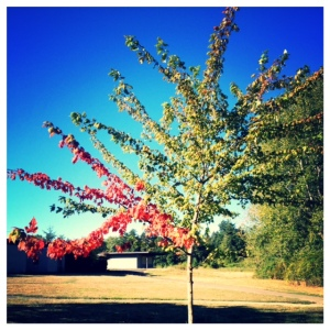 I couldn't resist snapping this iPhone shot.  How cool is that one red leaved branch?